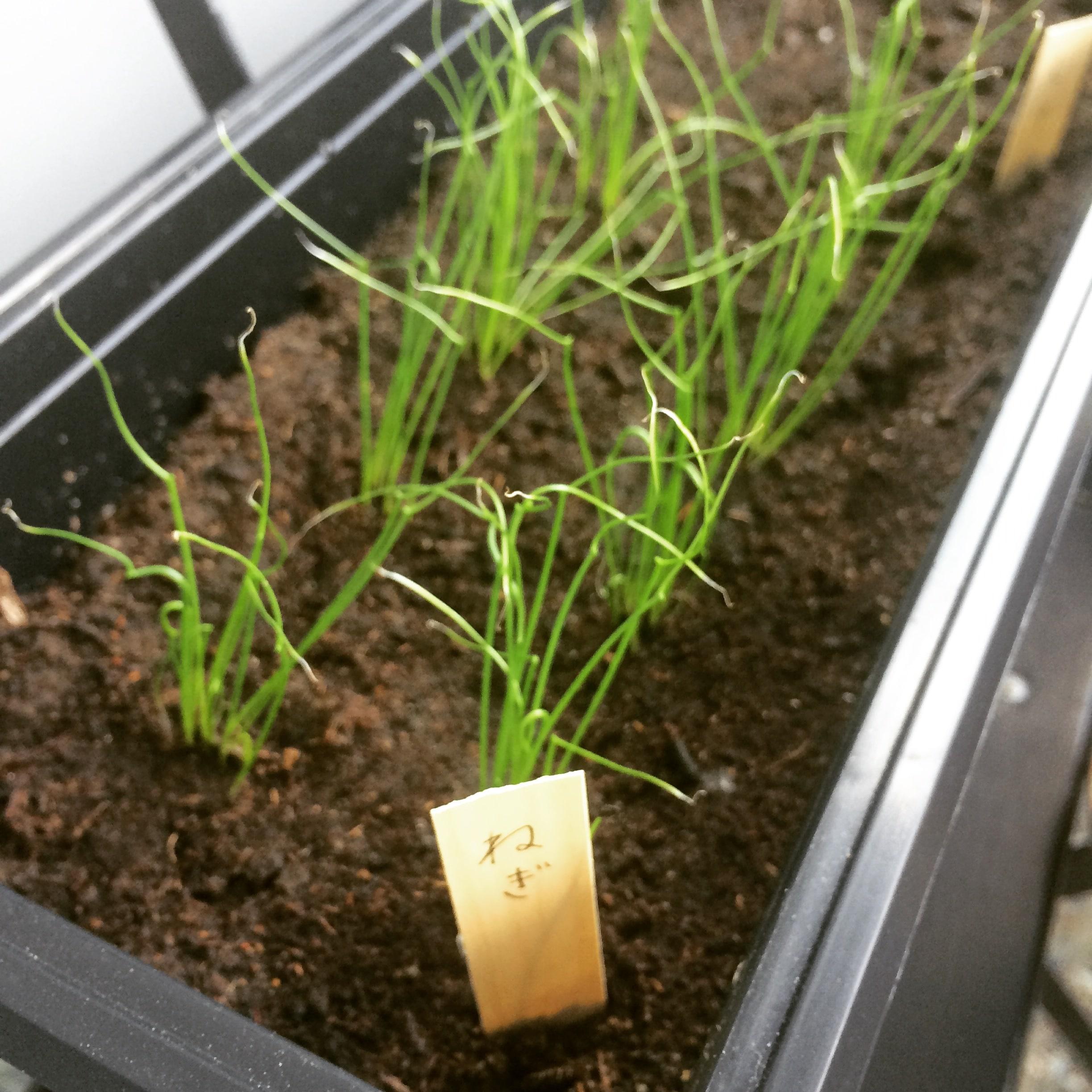 ネギを育てて三ヶ月。フィンランドで野菜を栽培するなら種はここでゲット!