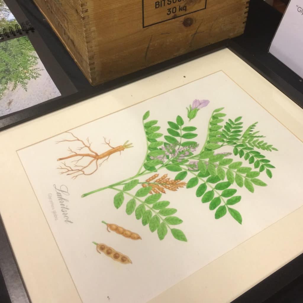 salmiakki-plants
