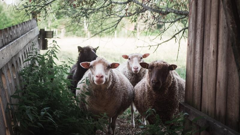 ミッシーファルミ 羊
