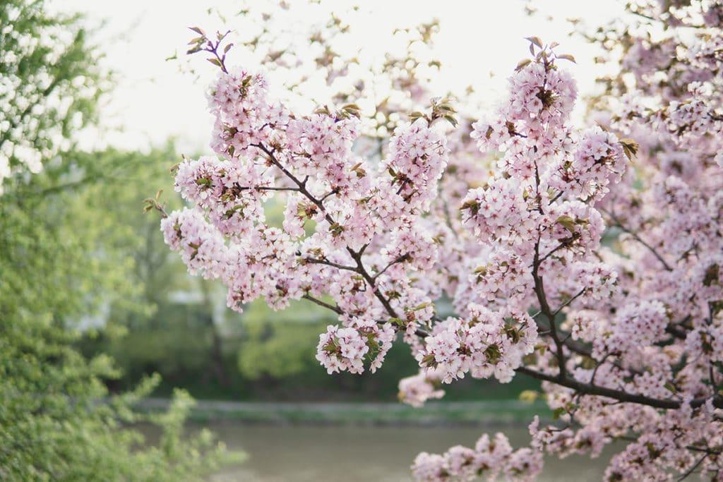 フィンランド 桜